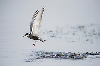 Whiskered Tern in Flight and hunting over a shallow wetland, Agulhas Plain, Overberg, Western Cape, South Africa