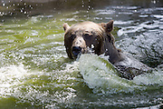 "During renovation of his own place, 900-pound bear Fritz from Innsbruck's Alpenzoo is a guest at the Bärenwald (Bear Forest), a high security area for retired circus or dancing bears run by ""Vier Pfoten"". His bearness having a swim."