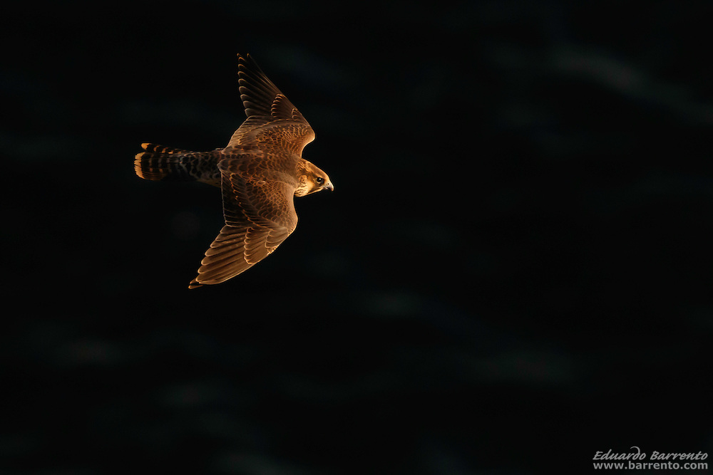 Peregrine falcon (Falco peregrinus). Bird of prey flying over the dark sea, with morning light, seen from above