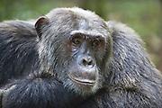 Chimpanzee<br /> Pan troglodytes<br /> Large male resting<br /> Tropical forest, Western Uganda