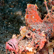 Devil Scorpionfish Inimicus didactylus at Lembeh Straits, Indonesia.