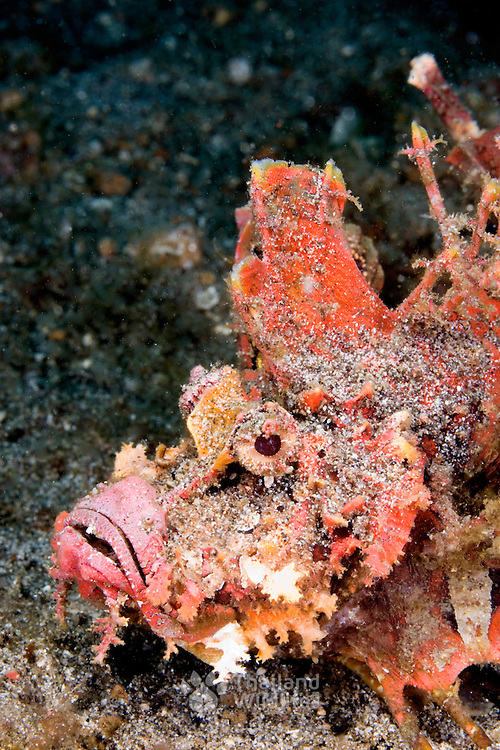 Devil Scorpionfish Inimicus didactylus at Lembeh Straits, Indonesia.