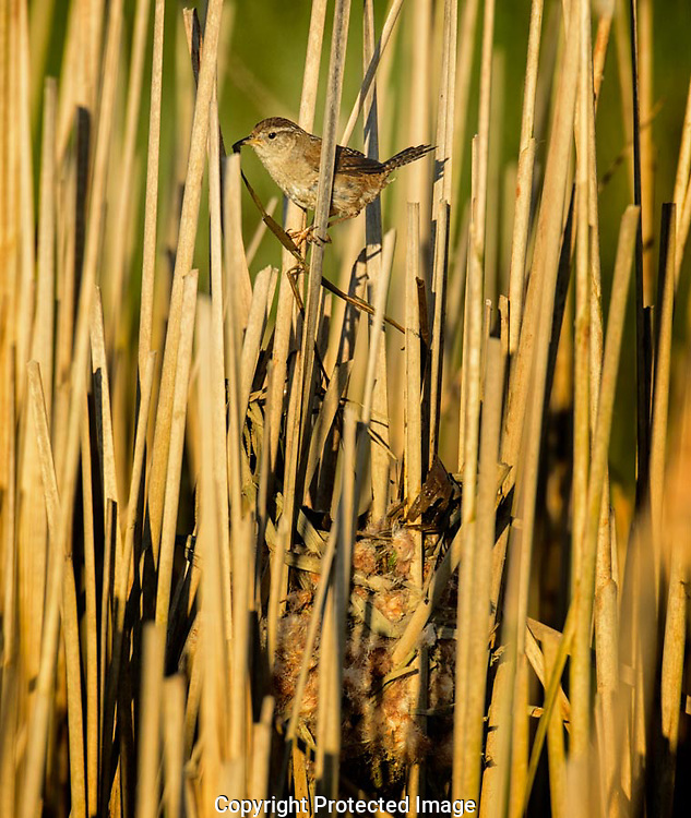 The Marsh Wren flew up from the water with a wet cattail leaf in its bill.  It paused briefly before dropping into its nest where it proceeded to weave the leave into the wall of the nest.