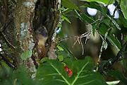 Yellow-crowned Brush-tailed Rat (Isothrix bistriata)<br /> Yasuni National Park, Amazon Rainforest<br /> ECUADOR. South America<br /> HABITAT & RANGE: Igapo and varzea habitats in lowland rainforests from Colombia, Venezuela, Ecuador, Peru, Bolivia and Brazil.
