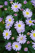 Aster blooms, cluster,