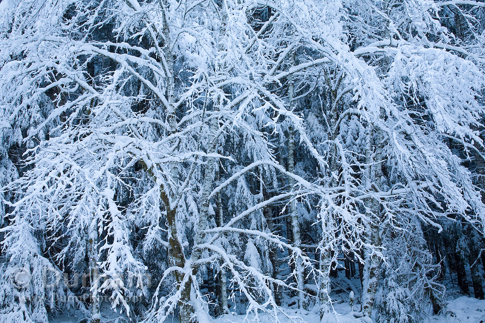 Details of snow laden trees in the Clatsop State Forest, at 1600 feet in the coast range of northern Oregon, after a rare snow storm.