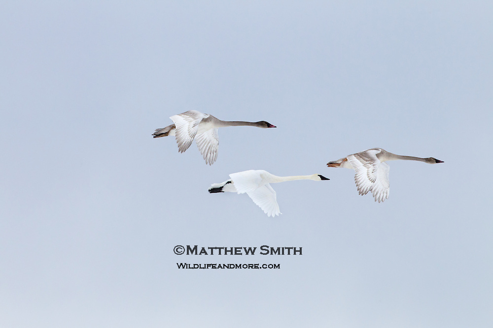 Three Trumpeter Swans in flight over Eastern Idaho