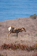 A once-extinct herd of Tule Elk now thrives at Tomales Point, Point Reyes National Seashore