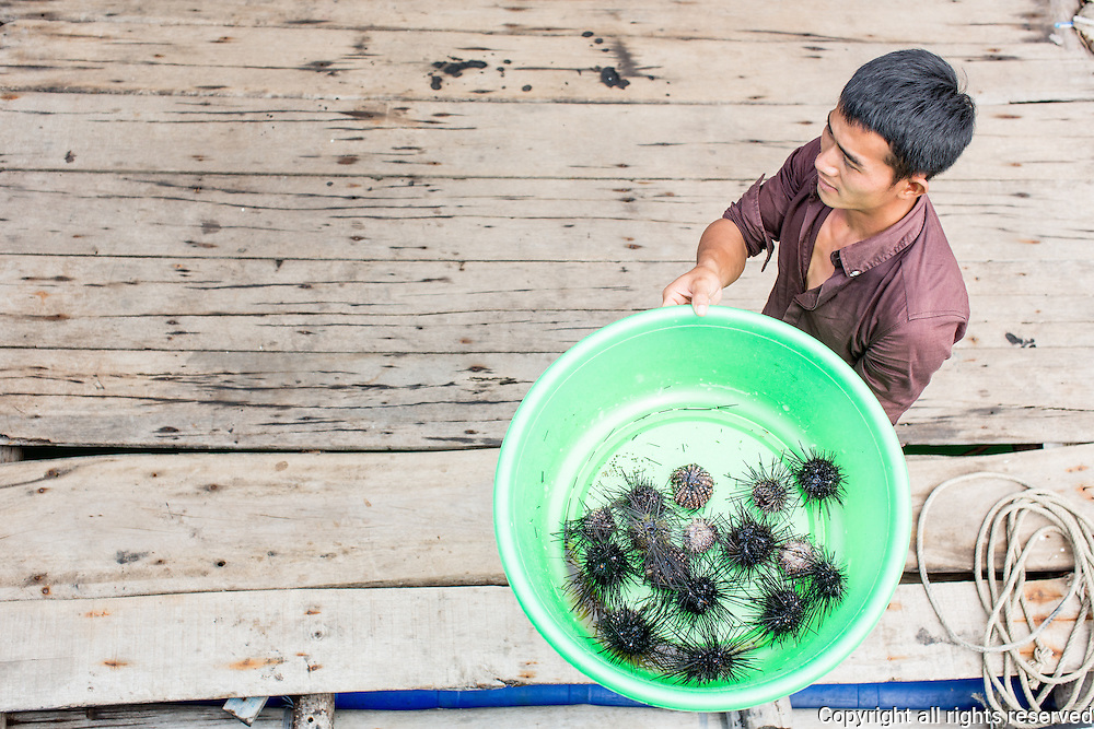 live sea urchins