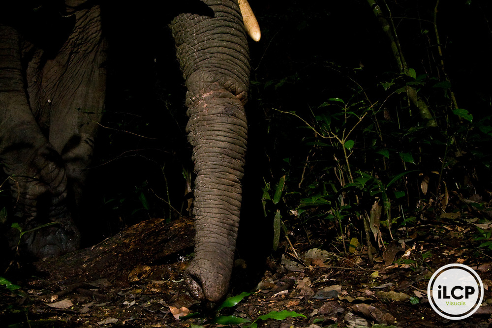 African Elephant (Loxodonta africana) with snare wound on trunk, Kibale National Park, western Uganda