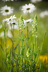 Wild Mignonette, Reseda lutea with Ox eye daisies in the Wild Flower Meadow