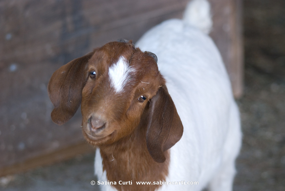 Early Spring, young boer goat sustainable family farm, Hillsdale, NY