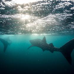 Whale shark / Requin baleine