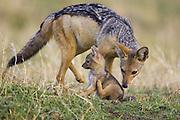 Black-backed Jackal<br /> Canis mesomelas<br /> Sniffing three week old pup<br /> Masai Mara Triangle, Kenya