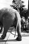 Elephants Walk into Boston to kick off the circus.