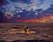 Japan - Okinawa Humpback Whales