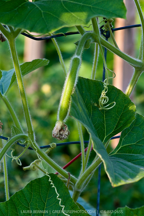 Bottle gourd (Lagenaria siceraria) is an annual vine  having white flowers and smooth, large, hard-shelled gourds. Grown most often in warmer climates, this squash grows from 6 to 36 inches long and 3 to 12 inches in diameter.