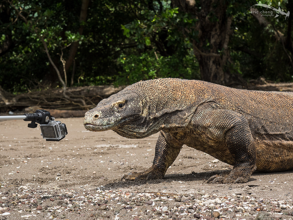 Komodo dragon (Varanus komodoensis) licking a GoPro HERO3+ camera on the beach on Rinca in Horseshoe Bay, Komodo National Park, Indonesia