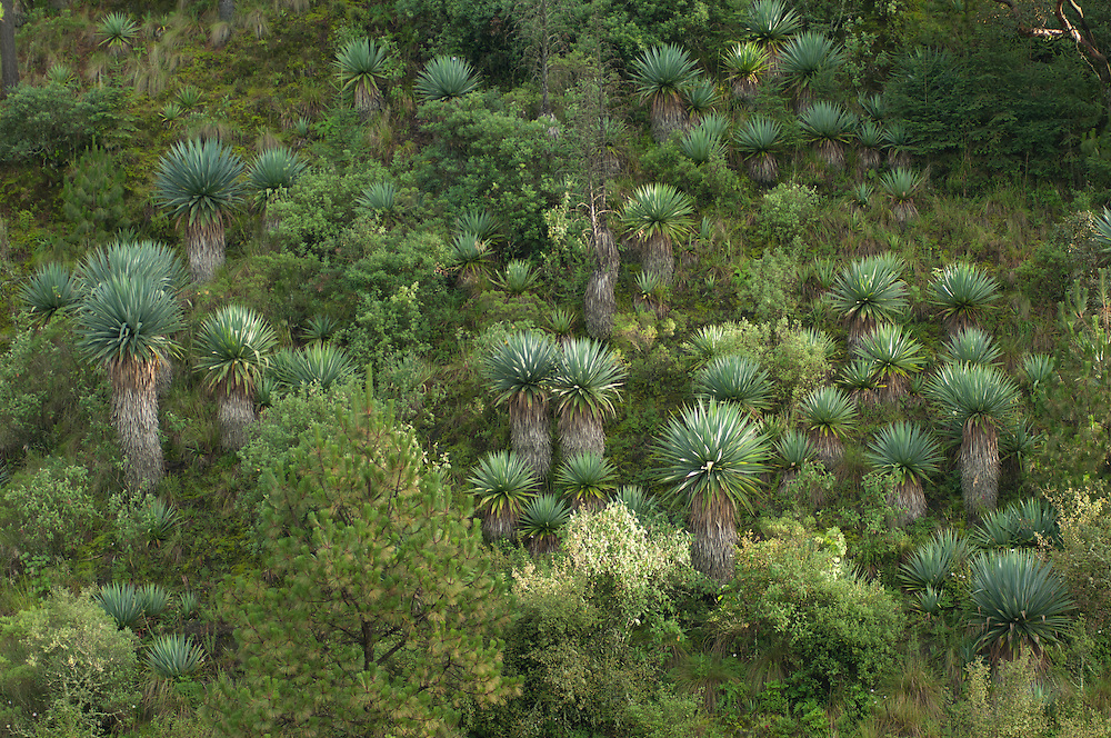 Endemic yucca (Furcraea sp.).Pine oak-forest in Neovolcanic Axis.Las Palomas. Morelos State. MEXICO