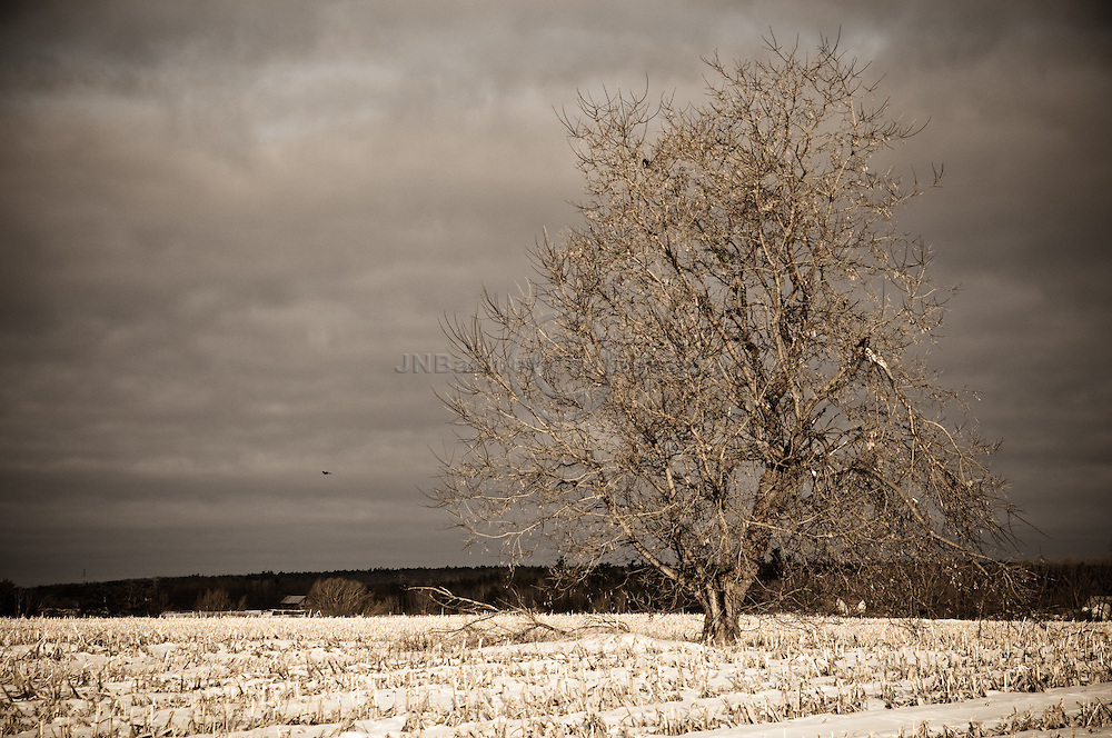 Large, mature tree in the middle of a crop field