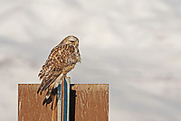 Rough Legged Hawk is a wintertime visitor to northern Utah this Hawk is resting perched on a sign in a local marsh since there are very few trees in this marsh they will use signs and fence posts to watch for prey.