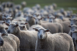 A flock of sheep near Blackwood Creek in Tasmania's northern midlands.