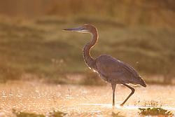 Goliath Heron (Afrdea goliath) in Lake Naivasha, Kenya