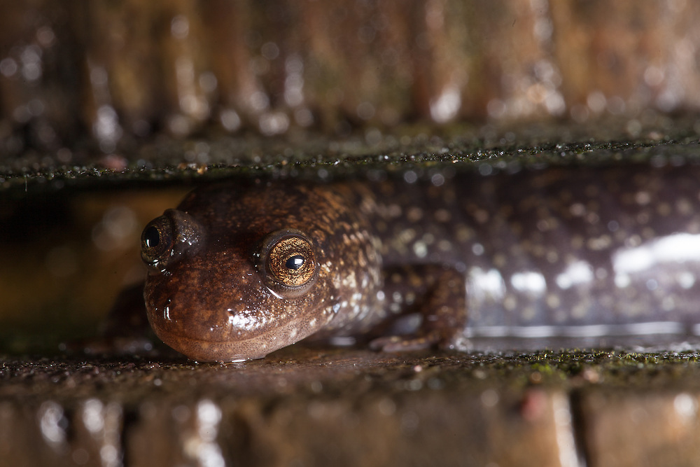 The large Desmognathus quadramaculatus is a voracious hunter, it's presence has the power to change the entire in stream salamander power structure. This one, found at night, is laying in wait between two slats of wood next to a creek.