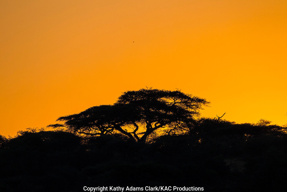 sunrise with a silhouetted acacia tree, near Ndutu, in the Ngorongoro Conservation Area, Tanzania, Africa.