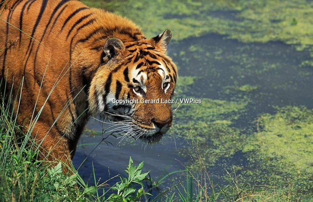 Bengal Tiger, panthera tigris tigris, Adult at Water Hole