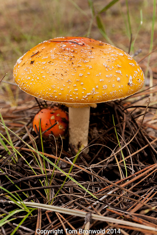 Amanita mushrooms are common mushroom found in spruce forest durring the summer rains. Not edible