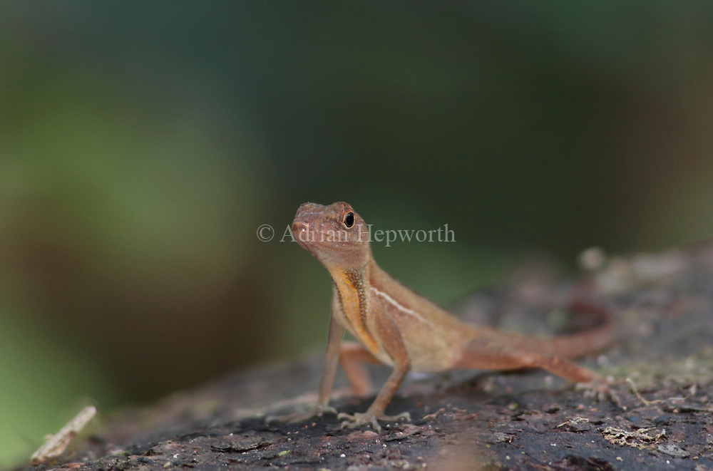 Golfo Dulce Anole Lizard (Norops polylepis). Corcovado National Park, Osa Peninsula, Costa Rica. Endemic to south west Costa Rica.<br /> <br /> For pricing click on ADD TO CART (above). We accept payments via PayPal.