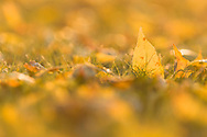 Close-up of backlit autumn Ash leaves on the ground.