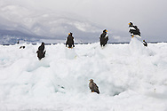 Steller's Sea Eagle (Haliaeetus pelagicus), Rausa, Japan