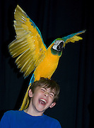 "Photo by Phil Grout..But moments later Connor gets the gold crown with ""Sweetie Pie"" spreading his wings for a slightly hysterical fifth grader who seems.to have enjoyed the show put on by the Wilson Parrot Foundation.of Damascus."