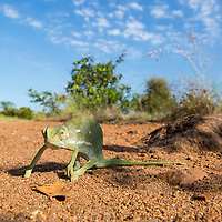 South Africa, Mpumalanga Province, Kruger National Park, Flap Necked Chameleon (Chamaeleo dilepis) walking across red sand