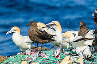 Cape Gannets and Sub-Antarctic Skuas scavenging from a commercial purse-sein net as it is hauled to the ocean surface, Cape Canyon Trawl Grounds, South Africa