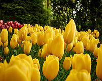 Yellow tulips. Tulip festival at Keukenhof Gardens in Lisse, Netherlands. Image taken with a Leica X2 camera.