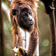 Singe   Capelao. Macaco no Seringal Cachoeira. Acre. Brasil.