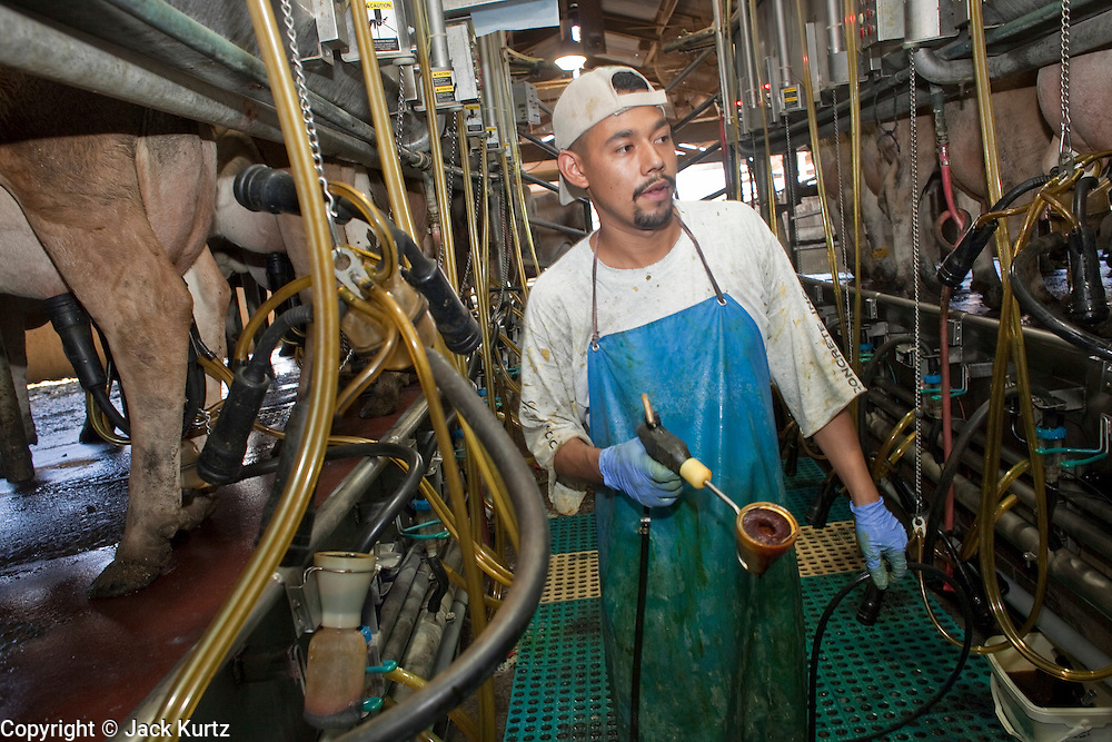 31 JULY 2009 --  GLENDALE, AZ: Javier Sanchez (CQ) milks some of the 1800 Jerseys on the Rovey Dairy in Glendale. The Arizona dairy industry is struggling to survive the worst milk economy some have ever seen. Due to the global recession, overseas demand for Arizona dairy products has plummeted, forcing prices down while production costs have stayed stable or gone up. For every $1 dairymen earn from milk sales, it cost them $1.50 to produce the milk. Photo by Jack Kurtz