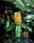 Kahili Ginger, Flower, Hawaii