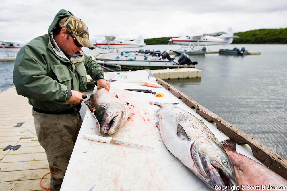 Sport fishing guide fillets recently caught king (chinook) salmon at Rapids Camp Lodge on the Naknek River in Bristol Bay, Alaska.