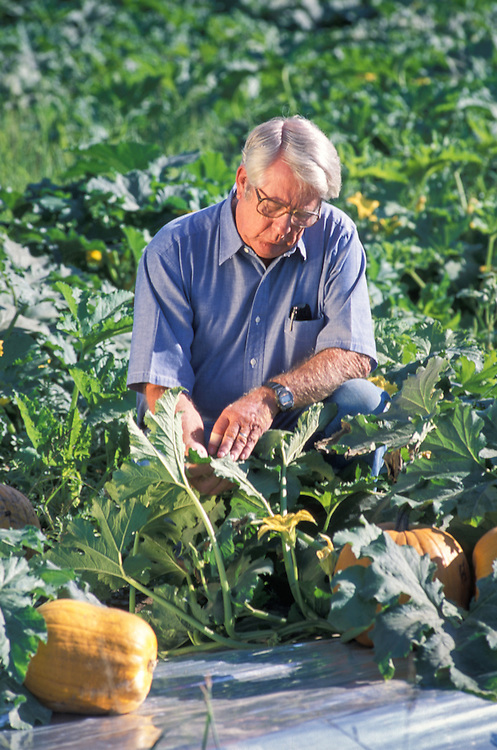 CENTRAL VALLEY, CALIFORNIA - Charles Summers with pumpkins grown on reflective plastic mulch for insect control