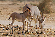 female and young African wild ass (Equus africanus), Photographed in the Arava desert, israel