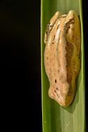 delicate leaf-folding frog, delicate spiny reed frog or Pickersgill's banana frog (Afrixalus delicatus)<br /> AFRICA: Mozambique: Sofala<br /> Gorongosa National Park<br /> 23-May-2018<br /> J.C. Abbott &amp; K.K. Abbott