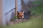 This young fox is having a quick look to see it the surrounding area is safe so it can exit the safety of its den.
