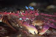 Percnon sp. (Short Crab)