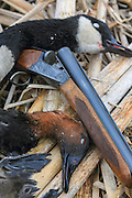 Canada goose, canvasback drake and double barreled shotgun.