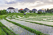 Rice fields in Canggu.