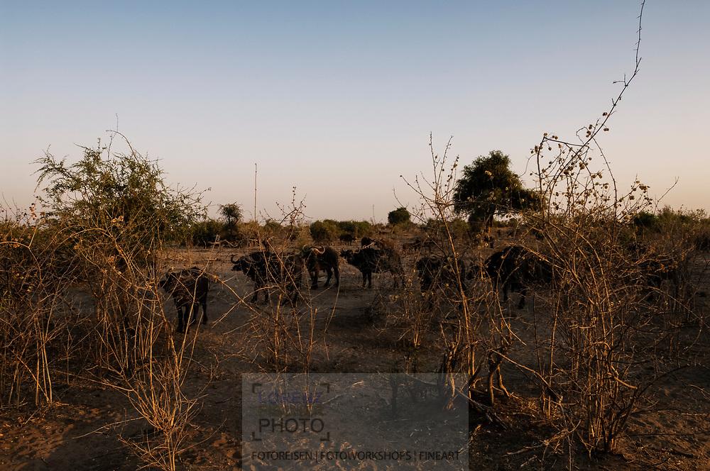 Afrikanischer Büffel im Buschland an der Riverfront im Chobe Nationalpark in Botswana.
